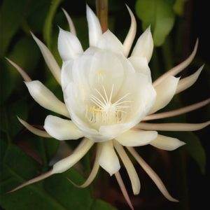 Saussurea obvallata - Brahma Kamal (ब्रह्म कमल)plant online at nursery nisarga