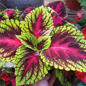 Coleus Red Green Plant