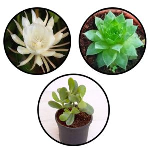 Buy lucky plant Combo pack online at Nursery Nisarga