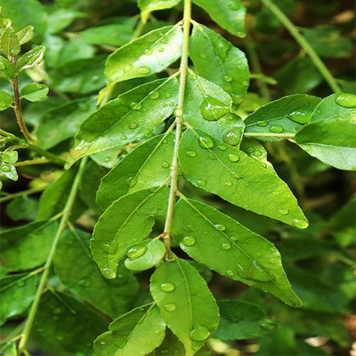 Buy Kadi Patta Plant, Curry Leaves, Meetha Neem - Nursery Nisarga
