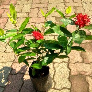 Ixora flower plant online