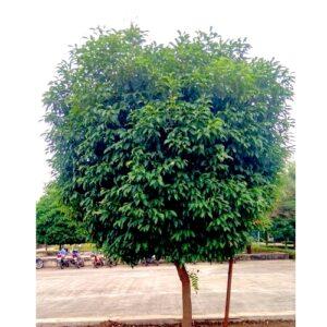 Morchali Plant