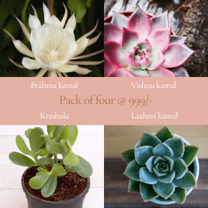 Buy Pack of four plants (Brahma kamal, Vishnu kamal, Laxhmi kamal, Krashula)