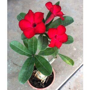 Red Adenium