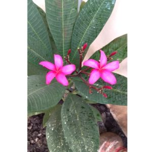 Buy Plumeria | Red Champa plant online at Nursery Nisarga