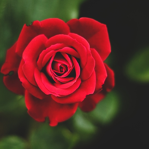 Buy Red Rose - Rosa Indica plant online at Nursery Nisarga