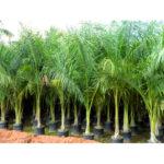 Royal Bottle Palm