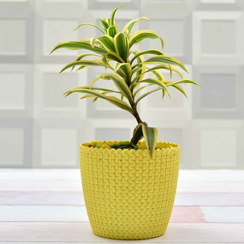 Song of india - Dracaena reflexa plant