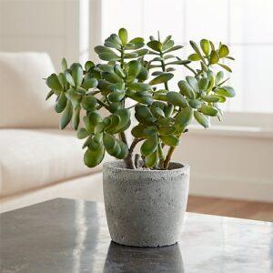 Vastu plant