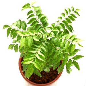 meetha neem, Curry leaves, Kadi patta ka plant online
