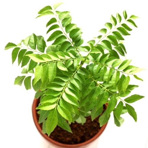 meetha neem, Curry leaves, Kadi patta ka plant online