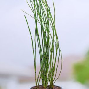 water bamboo live plant