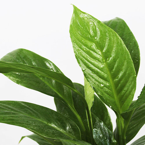 Buy Peace Lily, Spathiphyllum - Nursery Nisarga