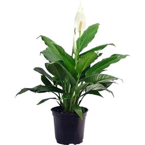 Buy Peace lily plant online