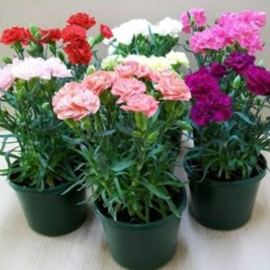 Carnations plant
