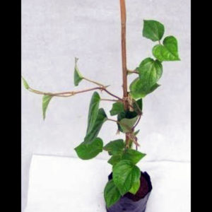 Buy Maghai Paan - Piper betel plant online at Nursery Nisarga