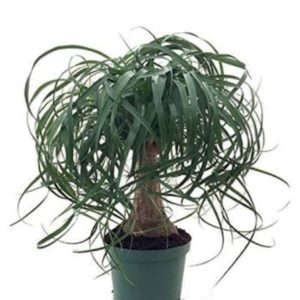Buy Ponytail palm - Elephant foot - Nolina Palm Online
