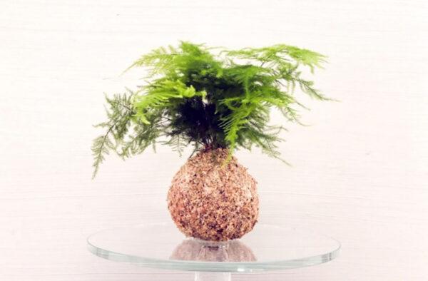 asparagus fern setaceus