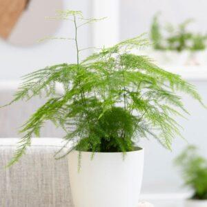 asparagus fern plumosus