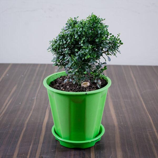 Buy Mini Madhu kamini plant with premium pot - Nursery Nisarga