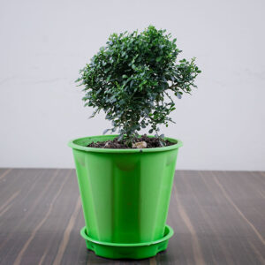 Buy Mini Madhu kamini plant with premium pot - Nursery Nisarga