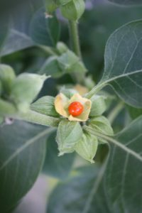 Ashwagandh plant, Withania Somnifera