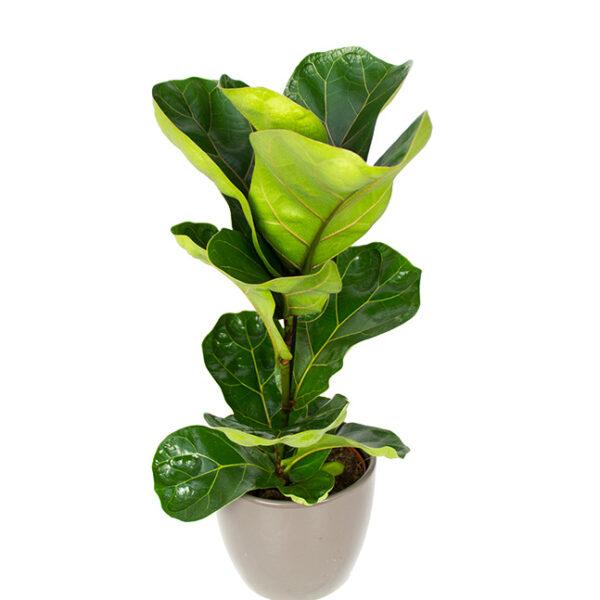 Buy Ficus Lyrata - Fiddle leaf Fig plant online - Nursery Nisarga