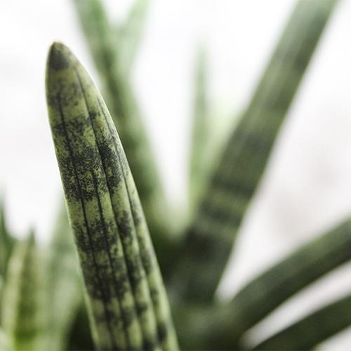 Star Sansevieria plant online nursery nisarga