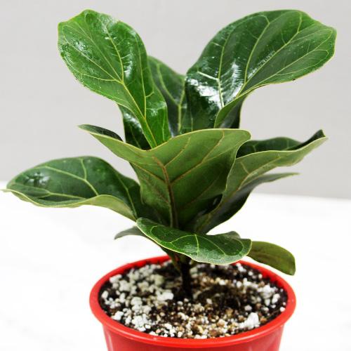 Buy Fiddle Leaf Fig Bambino Plant - Nursery Nisarga