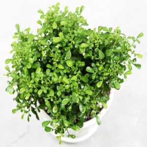 Buy Miniature Madhukamini Plant, Murraya paniculata, Cestrum aurantiacum - Nursery Nisarga