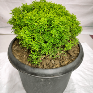Buy Madhu kamini plant with pot