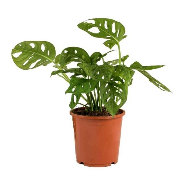 Monstera-adansonii-Philodendron