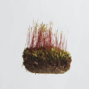 Buy Sphagnum Moss grass online at Nursery Nisarga