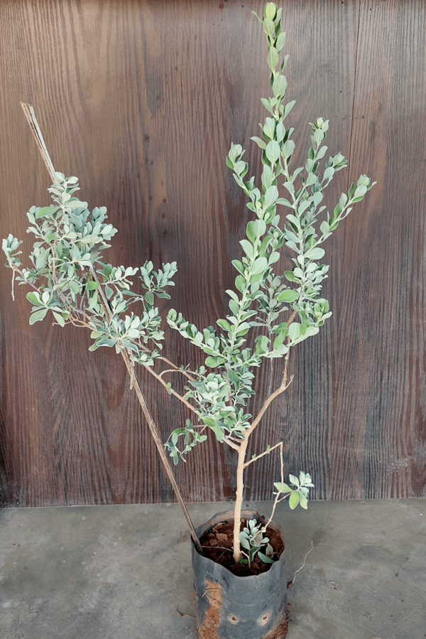 Nikodi plant online Nursery Nisarga