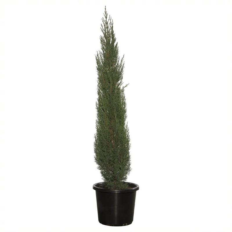 pencil pine plant