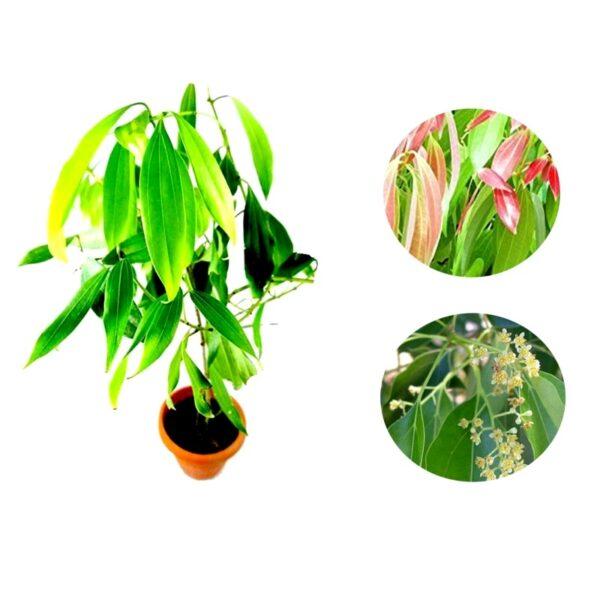 Cinnamon, Tamalpatra Plant, Indian bay lead, Tej Patta