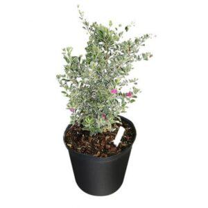 Nikotia plant or leucophyllum plant online at Nursery Nisarga