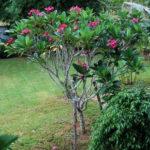 Buy Plumeria | Red Champa plant online at Nursery Nisarga