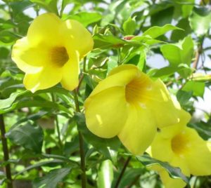 Buy Allamanda creeper plant with yellow flower