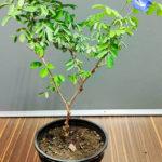 Buy Aparajita plant online at Nursery Nisarga