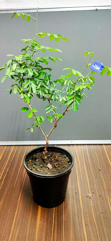 Buy Aparajita plant online at Nursery Nisarga