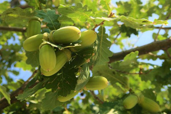 Buy Cucumber seeds, Kakadi online on Nursery Nisarga
