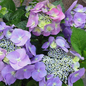 Buy Hydrangea plant online at Nursery Nisarga