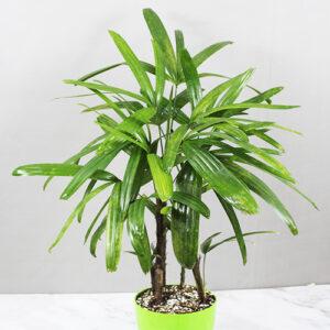 Buy Rhapis Excelsa – Lady Palm – Bamboo Palm - Nursery Nisarga