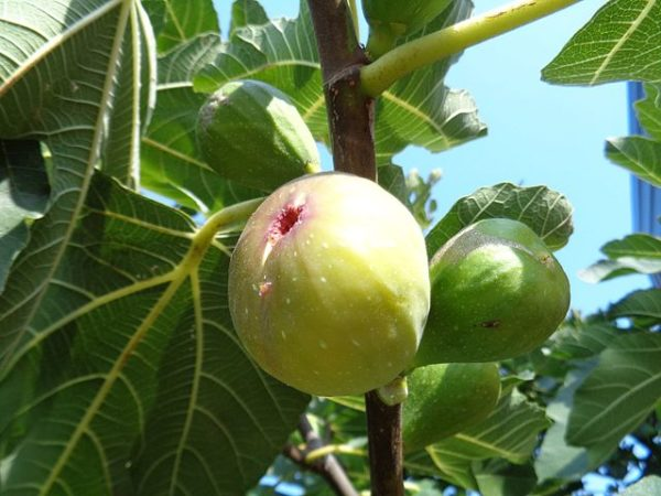 Buy Anjeer Plant - Indian fig, common fig online