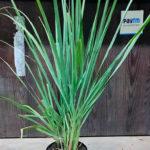 Buy Lemongrass online