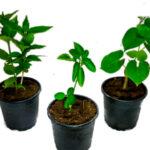 Immunity booster plant - Giloy, Ashwagandha, parijat - Nursery Nisarga