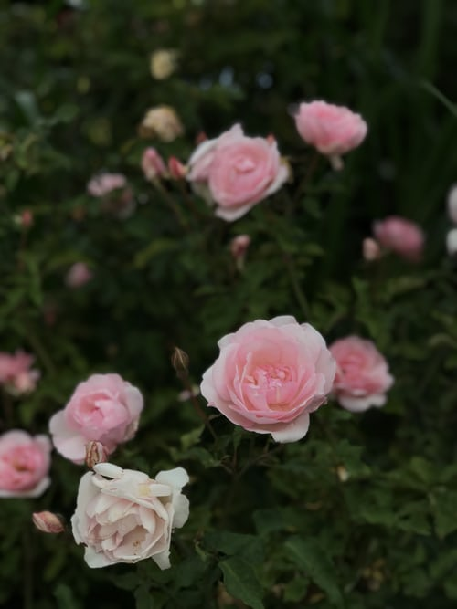 Buy Button Rose - Miniature Rose plant online, color pink, rose, white