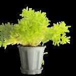 Buy Sprenger's Asparagus Fern - plant online