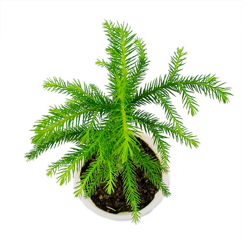 Buy christmas tree plant online at lowest rate